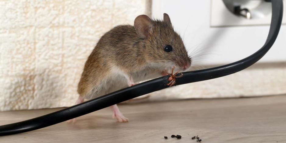 Mouse next to electric wall socket and plug